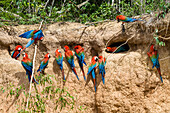 Red-and-green Macaws at saltlick, Ara chloroptera, Tambopata National Reserve, Peru, South America
