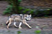 European Wolf running, Canis lupus, Europe, captive