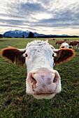 Kuh, Milchkuh im Alpenvorland, Oberbayern, Alpen, Deutschland