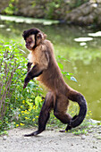 Capucin Monkey walking upright, Sapajus apella, Cebus apella, zoo, South America