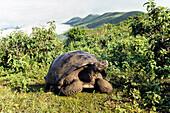 Galapagos Giant Tortoise on Alcedo Vulcano crater rim, Chelonoidis nigra, Isabela Island, Galapagos Islands, Ecuador, South America