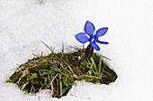Gentian in snow, Gentiana verna, Upper Bavaria, Germany, Europe