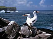 Masked Boobies, Sula dactylatra, Hood Island, Galapagos, Ecuador, South America