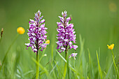 Marsh Orchid, Orchis militaris, Bavaria, Germany