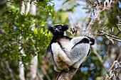 Indri, Indri indri, rainforest, Andasibe Mantadia National Park, East-Madagascar, Africa