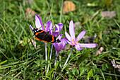 Meadow Saffron, Colchicum autumnale, and Red Admiral, Vanessa atalanta, Bavaria, Germany