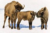 European Bisons in snow, Bison bonasus, Nationalpark Bayerischer Wald, Germany, captive