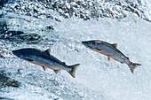 Sockeye Salmons leaping, Onocorhynchus nerka, Alaksa