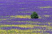 Meadow full of Paterson's curse, Echium plantagineum, Flinders Ranges National Park, South-Australia