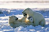 Polar Bears playing, Ursus maritimus, Churchill, Manitoba, Canada