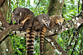 Coatis in tree, Nasua nasua, Iguassu Nationalpark, Brazil