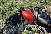 Great Frigatebird, male courtship display, Fregata minor, Tower Island, Galapagos Islands, Ecuador, South America