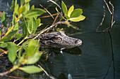 young Mississippi-Alligator in mangroves, Alligator mississippiensis, Ding Darling, Florida, USA