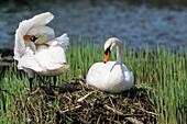 Mute Swans, pair on nest, Cygnus olor, Upper Bavaria, Germany, Europe