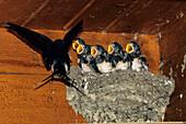 Swallow at nest, Hirundo rustica, Greece, Europe