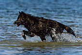 Black Wolf, Timberwolf, Canis lupus, North America