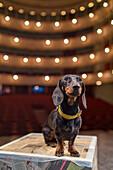 dog, stage, interior of Goldoni Theatre, Venice, Italy