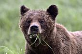 Head portrait of a female grizzly bear (Ursus arctos horribilis), Khutzeymateen Grizzly Bear Sanctuary, British Columbia, Canada, June 2013.