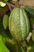 Cacao, or Cocoa fruits at San Rafael, Veracruz, Mexico