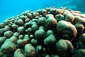 Green Cactus Corals at Veracruz coral reefs, Mexico.