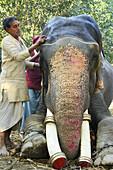 India, Bihar, Patna region, Sonepur livestock fair, Mahout applying make up to his elephant.