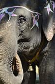 India, Bihar, Patna region, Sonepur livestock fair, Decorated elephant.