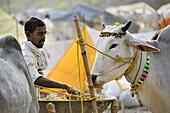 India, Bihar, Patna region, Sonepur livestock fair, Cattle market, Cow feeding.