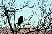 Great horned owl (Bubo virginianus) silhouette, Summer Lake Wildlife Area, Oregon Outback Scenic Byway, Oregon.