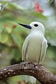 White Tern, Gygis alba, Bird Island, Republic of Seychelles, Indian Ocean
