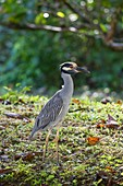 Yellow-crowned Night Heron Nycticorax violaceus in its natural environment on the Caribbean Sea Coast at the Cahuita National Park, Costa Rica.