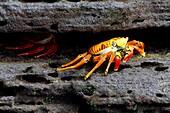 Sally Lightfoot Crab, Grapsus grapsus, Puerto Egas, Santiago Island, Galapagos Islands, Ecuador.