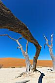 Dead Vlei, Sossusvlei, Namib Desert, Namib Naukluft Park, Namibia, Africa.