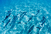 Hawaii, Lanai, Hulopoe Bay, Spinner Dolphins (Stenella Longirostris) Underwater Near Seafloor.