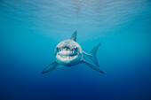 Mexico, Guadalupe Island Offshore, Great White Shark (Carcharodon Carcharias) In Deep Ocean Water, View From Front.