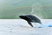 Hawaii, Maui, Humpback Whale (Megaptera Novaeangliae) Breaching Off Coastline.