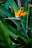 Hawaii, Bird Of Paradise Blossom.