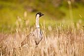 Hawaii, Maui, Haleakala, Nene Goose (Nesochen Sandvicensis) In Grassy Surroundings, Hawaii State Bird.
