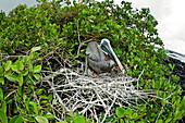 Ecuador, Galapagos Archipelago, Santa Cruz Island, Brown Pelican (Pelecanus Occidentalis) In Nest.