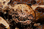 Indonesia, Sulawesi, Wakatobi, Crocodile Fish (Cymbacephalus Beauforti), Closeup Of The Eye.