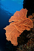 Indonesia, Sulawesi, Sea Fan Coral, Underwater Scene.