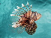 Indonesia, Sulawesi, Lionfish (Pterois Volitans) Floating Peacefully Above The Reef.