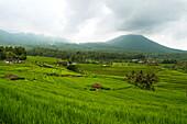 Indonesia, Bali, Rice Terraces, Tabanan.