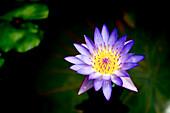 Hawaii, Kauai, Kilauea, Purple Lily Sitting In A Pond.