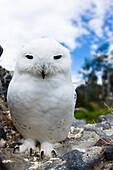 Captive, Snowy Owl, Arctic Owl Or Great White Owl, Nyctea Scandiaca.