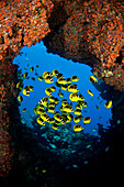 Hawaii, Lanai, Schooling Raccoon Butterflyfish (Chaetodon Lunula) Framed In A Lava Formation Off The Island.