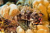 Hawaii, Closeup Of Green Lionfish Endemic, (Dendrochirus Barberi).