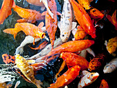 Hawaii, Oahu, Pagoda Hotel, Movement Of Japanese Koi.