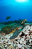 Hawaii, Maui, Several Green Sea Turtles (Chelonia Mydas) Gather On A Reef