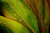 Close-Up Detail Of Green Ti Leaf With Raindrops.