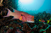 Ecuador, Galapagos Archipelago, Adult Male Mexican Hogfish (Bodianus Diplotaenia) Swims Among Reef With Schools Of Fish In Background.